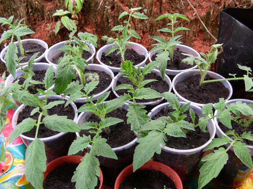 Untitled page - Hauteur plant de tomate ...